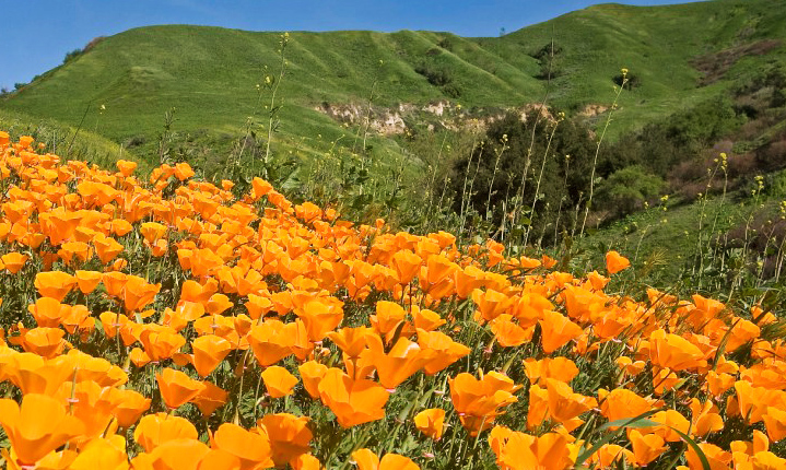 California Poppy field in chino hills ca - the history of chino hills